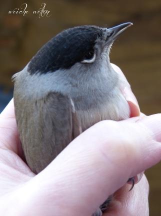 unglücksvogel mönchsgrasmücke